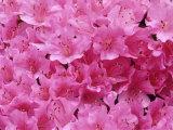 Azalea Rhododendron Photographic Print by Daisy Gilardini