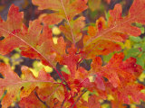 Red Oak Leaves, Colorado, USA Photographic Print by Julie Eggers