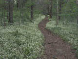 Footpath through White Fringed Phacelia, Great Smoky Mountains National Park, Tennessee, USA Photographic Print by Adam Jones