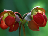 God Rays on Pitcher Plant Blossom, St. Ignace, Michigan, USA Photographic Print by Claudia Adams