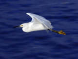 A Snowy White Egret Flies Above the Morro Bay Estuary Photographic Print