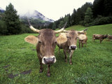 Swiss Brown Cows at Umbrail Pass, Switzerland Photographic Print by Gavriel Jecan