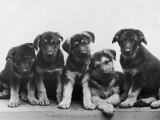 Group of Alsatian Puppies Fotografisk tryk af Thomas Fall