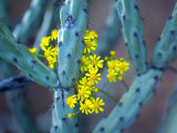 Staghorn Cholla Cactus and Desert Brittle Bush Flowers Photographic Print by Raul Touzon