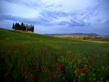 Poppies in a Wheat Field and a Cluster of Cypress Trees Photographic Print by Raul Touzon