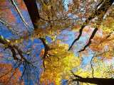 Forest Canopy in Autumn, Jasmund National Park, Island of Ruegen, Germany Photographic Print by Christian Ziegler