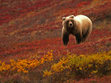 An Alaskan Brown Bear Standing on a Tundra with Fall Foliage (Ursus Arctos) Photographic Print by Roy Toft