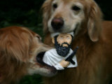 Golden Retrievers Tear Apart an Osama Bin Laden Chew Toy Photographic Print