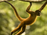Spider Monkey (Ateles Geoffroyi) Brachiating Through Trees Photographic Print by Roy Toft