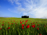 Poppies in a Wheatfield and Cypresses Fotografisk tryk af Raul Touzon
