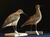Extinct Eskimo Curlews in an Exhibit Photographie