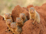 Portrait of Seven Dwarf Mongooses on a Termite Mound (Helogale Parvula) Photographic Print by Roy Toft