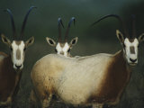 A Group of Scimitar Horned Oryxes Photographic Print by Joel Sartore