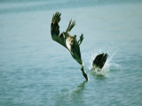 Two Brown Pelicans Dive into Water after Fish Photographic Print by Bill Curtsinger