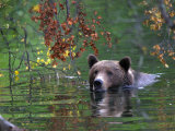 An Alaskan Brown Bear Swims in a River with an Overhang of Fall Leaves (Ursus Arctos) Photographic Print by Roy Toft