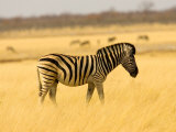Zebra in Golden Grass at Namutoni Resort, Namibia Photographic Print by Joe Restuccia III