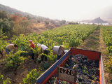 Picking Grapes, Languedoc, France Photographic Print by Nik Wheeler