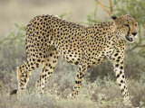 Close View of a Cheetah Walking Through a Field (Acinonyx Jubatus) Impressão fotográfica por Roy Toft