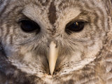 A Barred Owl (Strix Varia) Wing at a Raptor Recovery Center Fotografie-Druck von Joel Sartore