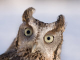 A Captive, Endangered Eastern Screech Owl at a Raptor Recovery Center Fotografie-Druck von Joel Sartore
