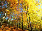 Trees Covered in Yellow Autumn Leaves, Jasmund National Park, Island of Ruegen, Germany Photographic Print by Christian Ziegler