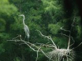 A Great Blue Heron Perches on a Branch Next to Its Nest Photographic Print by Taylor S. Kennedy
