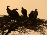 Silhouetted Vultures in an Acacia Tree at Sunset Photographic Print by Roy Toft