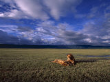 A Pair of African Lions Resting on a Savanna Under a Cloud-Filled Sky Photographic Print by David Pluth