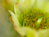 Close View of a Teddy Bear Cholla Cactus Flower Photographic Print by Raul Touzon