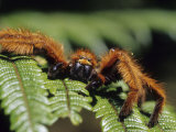 Close-up of Tarantula on Fern, Madagascar Photographic Print by Daisy Gilardini