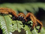 Close-up of Tarantula on Fern, Madagascar Photographic Print by Daisy Gilardini