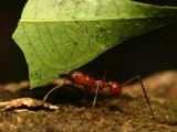 Close-up of Leaf Cutting Ant (Atta Sexdens) Carrying Leaf Photographic Print by Roy Toft