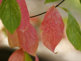 Tree Leaves Display Autumn Color Change Photographic Print by Charles Kogod