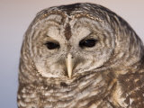 A Barred Owl (Strix Varia) at a Raptor Recovery Center Photographic Print by Joel Sartore