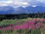 Fireweed Blooms near Kluane National Park, Yukon, Canada Photographic Print by Paul Souders