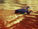 A Pacific Black Duck Swims in Golden Water at Sunset Photographic Print by Jason Edwards