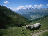 Cattle on a Hillside with the Town of Saint Moritz in the Distance Photographic Print by Taylor S. Kennedy