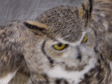 A Captive Great Horned Owl at a Recovery Center Fotografie-Druck von Joel Sartore