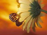 Beautiful Monarch Butterfly on Blooming Daisy Photographic Print