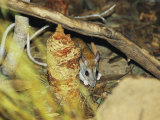 An Endangered Golden-Backed Tree Rat Feeding in Leaf Litter Photographic Print by Jason Edwards