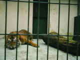 Once-Wild Sumatran Tiger Is Part of a Captive-Breeding Program near Jakarta, Indonesia Photographic Print by Michael Nichols