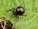 A Female Black Widow Spider, Latrodectus Mactans, on a Leaf Photographic Print by George Grall
