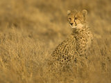 Young Cheetah (Acinonyx Jubatus) Sitting in Grass with Golden Light Photographic Print by Roy Toft
