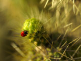 A Ladybug on the Spikes of a Cholla Cactus Fotografisk tryk af Raul Touzon
