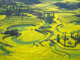 Yellow Rape Flowers Cover Qianqiou Terraces, China Photographic Print by Charles Crust
