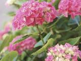 Pink Hydrangea Lámina fotográfica