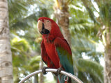 Parrot at Radisson Resort, Palm Beach, Aruba, Caribbean Photographic Print by Lisa S. Engelbrecht