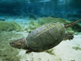 An Algae Dappled Snapping Turtle Swimming in a Clear Spring Photographic Print by Bill Curtsinger