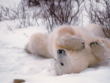 Polar Bear in Churchill, Manitoba, Canada Photographic Print by Dee Ann Pederson