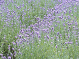 Field of Purple Flowers Photographic Print